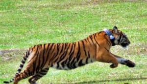 84114_harimau_sumatera__panthera_tigris_sumatrae__663_382